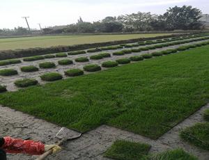 台湾二号草坪实拍
