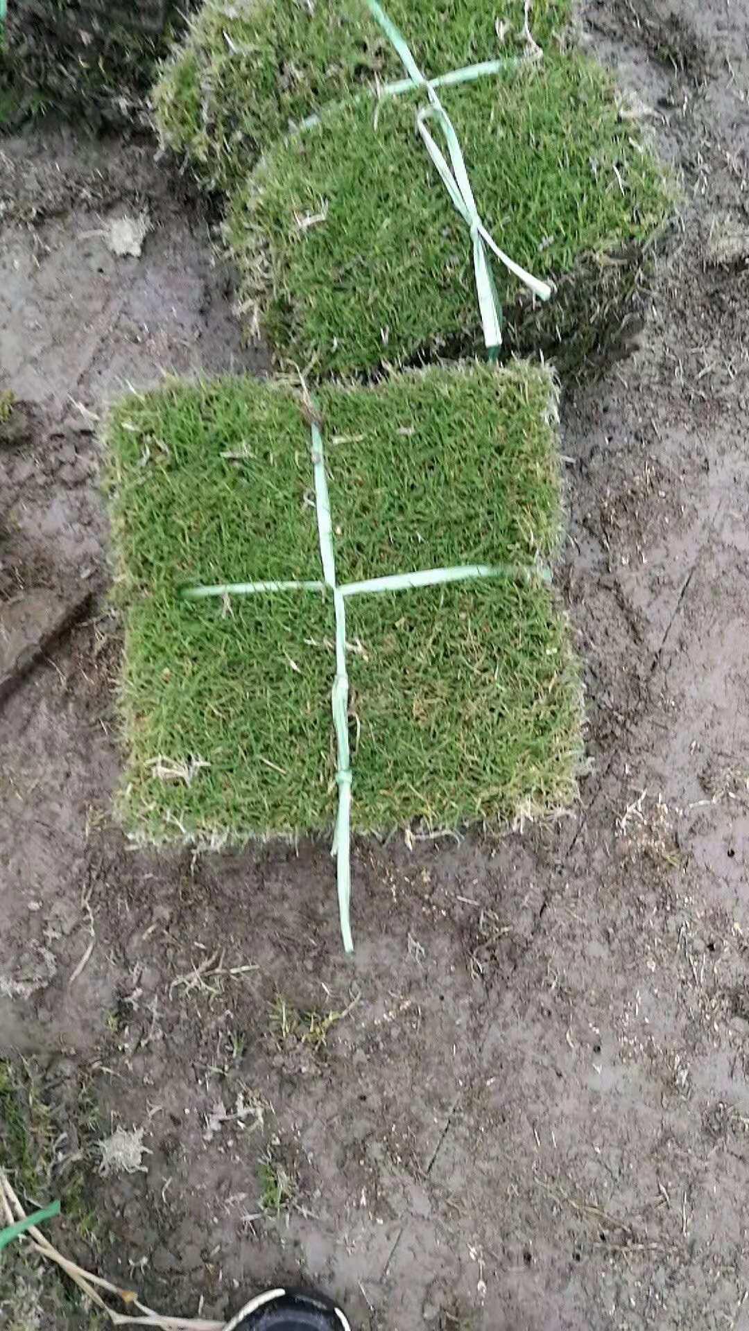 青青草坪打包好的台湾草皮