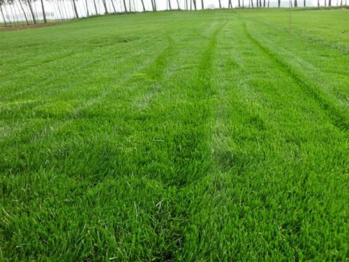 最柔软的草坪品种图片