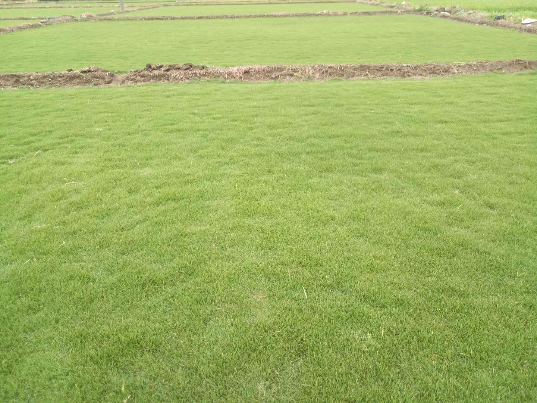天然草坪品种