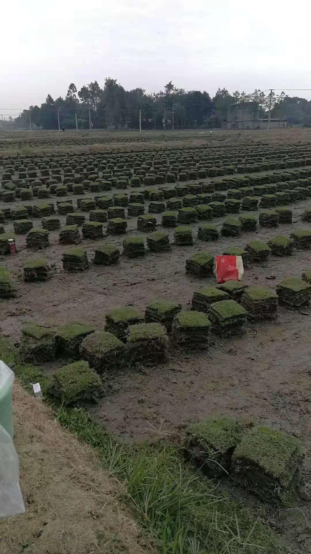草皮公司提醒:切勿在下雨天铺草皮