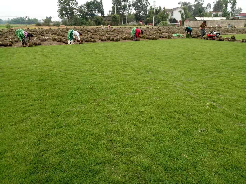 植草砖里放什么草坪好?